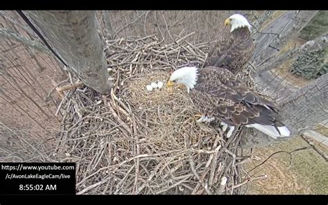 VIDEO: Avon Lake Bald Eagles have a third egg in the nest