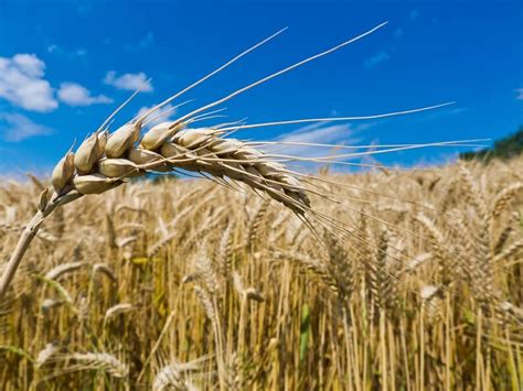 Top Benefits of Barley - The Cereal to Start Your Day With