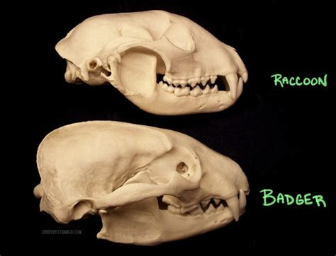 Skeleton Games | how can you tell a raccoon skull from a