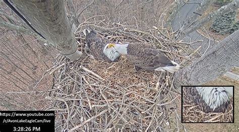 ODNR Eagle Cam! Waiting for Baby Eaglets - Scioto Post